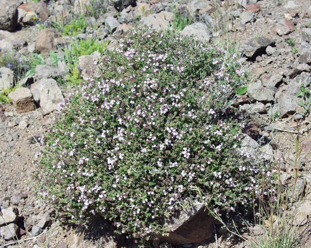 Thymus_vulgaris1