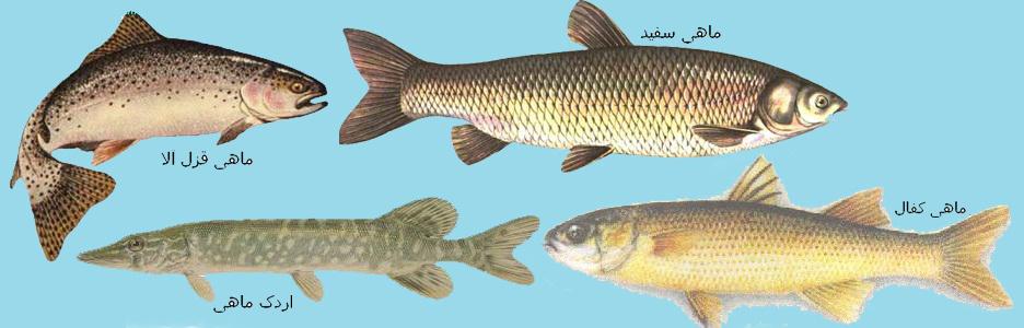 fish-in-khazar
