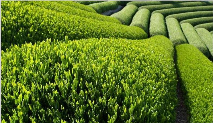 چای سبز و شفابخش
